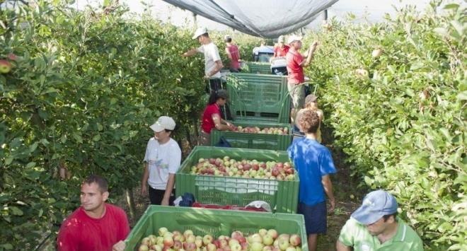 Vrt d.o.o. traži veći broj osoba za berbu jabuka u Ždralovima