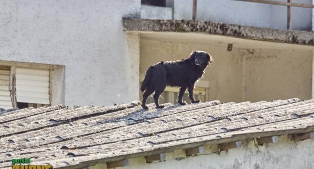 Nije guslač na krovu, nego pas na krovu